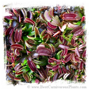 Dionaea muscipula 'Red Sawtooth BCP' / 3+ plants