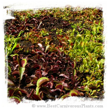 Dionaea muscipula {MIXED forms - 20 seedlings}