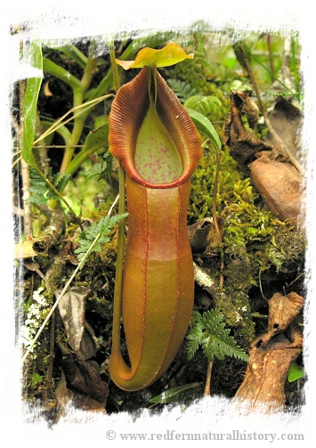 Nepenthes spathulata / 3-5 cm