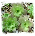 Pinguicula colimensis x cyclosecta / 2+ plant