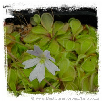 Pinguicula emarginata {white flower with reduced veins, small rosette} / 1+ plants